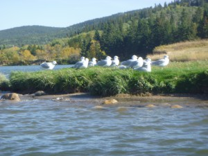 Gulls fertilize grassy knoll.